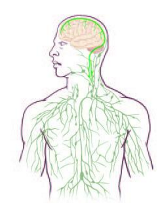 Rediscovered: lymph circulation in brain